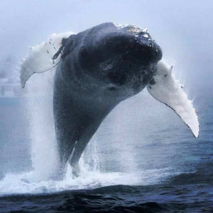 Humpback whale breaches in fog during a surreal, unforgettably close encounter Read more at http://www.grindtv.com/wildlife/humpback-whale-breaches-in-fog-during-a-surreal-unforgettably-close-encounter/#oyhJYV48SP4JqIEp.99 - ocean, whale, sea, nature. photos and video of a cloe breaching humpback whale near canada. lj
