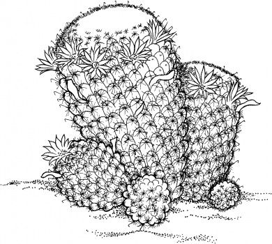 mammillaria wildii cactus coloring page from cactus category select from 28148 printable crafts of cartoons nature animals bible and many more