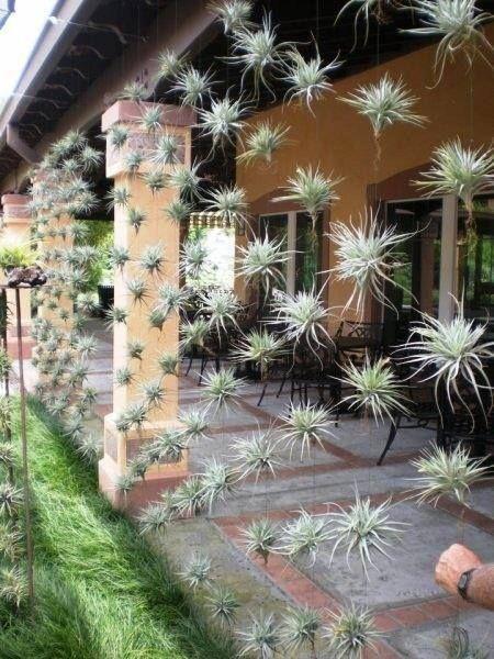 Las #Tillandsia normalmente crecen sobre otras #plantas, sin ser parásitos, generalmente en árboles, e incluso sobre rocas, techos, líneas de teléfono, etc., por lo que puedes hacer una decoración como la de la foto, en un área de aire fresco, con luz y rociándole agua unas cuantas veces a la semana.  Nativas de los desiertos, bosques y montañas de Centro y Sur América, México y en el sur de EE.UU.  #DisenoJardines #Colgantes #ClavelesDeAire #Decoracion