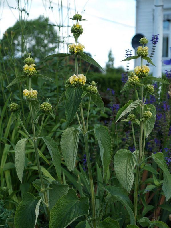2010-06-30: Phlomis russeliana