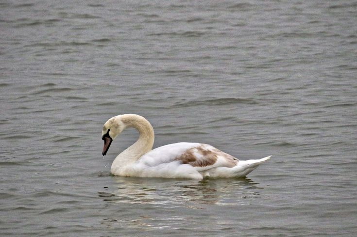 Swan takes a drink of water in the Fraser River. Click image to enlarge.