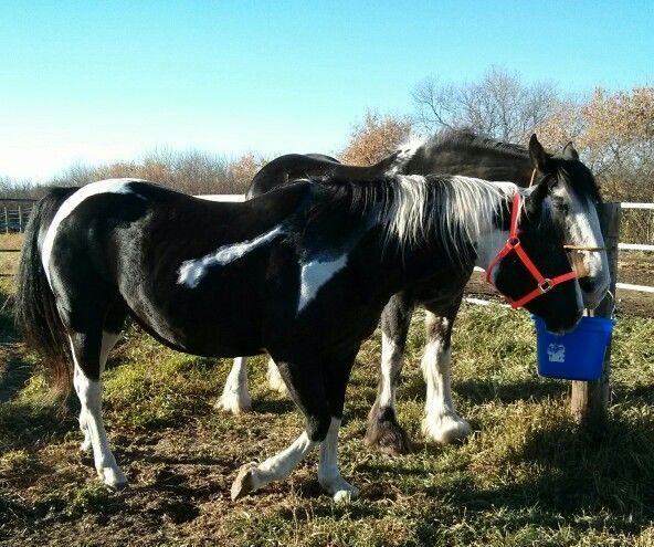 Image is APHA reg, so not a Clyde but she's here forever.....bought this girl back in 2000. I sure love her!! :-)
