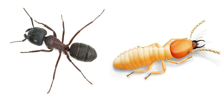 Carpenter Ant or Termite - Why the difference is vital. - http://apolloxpestcontrol.blogspot.com/2015/08/carpenter-ant-or-termite-why-difference.html