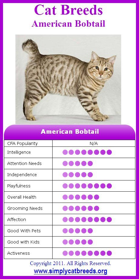 """The complete history of the American Bobtail is unknown, but this is a truly """"Born and Bred in the USA"""" breed. Its beginnings can be traced back to a short-tailed tabby male name Yodie, and a seal point Siamese. The American Bobtail is one of the newest cats to receive CFA approval. It was accepted into the CFA in 2000 and received Championship status only in 2006.. #americanbobtail http://simplycatbreeds.org/American-Bobtail.html"""