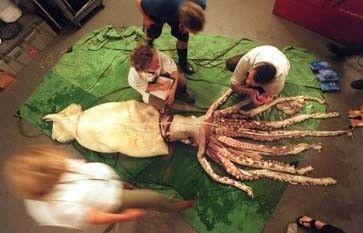 Wissenschaftler untersuchen eine tote Riesenkrake