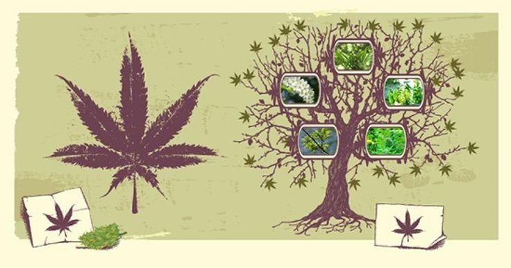 La familia del Cannabis – una introducción a la filogenética - http://growlandia.com/marihuana/la-familia-del-cannabis-una-introduccion-a-la-filogenetica/