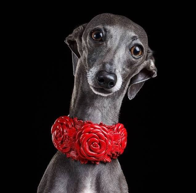 Leather Сollar for Italian Greyhound Chinese Crested Dog ...