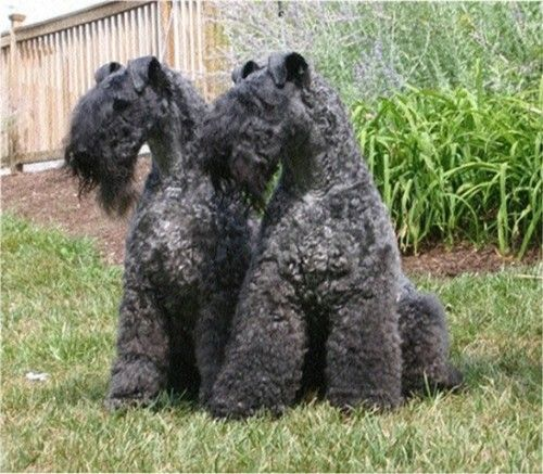 69 best images about Wheaten Terrier ,Kerry Blue Terrier ...