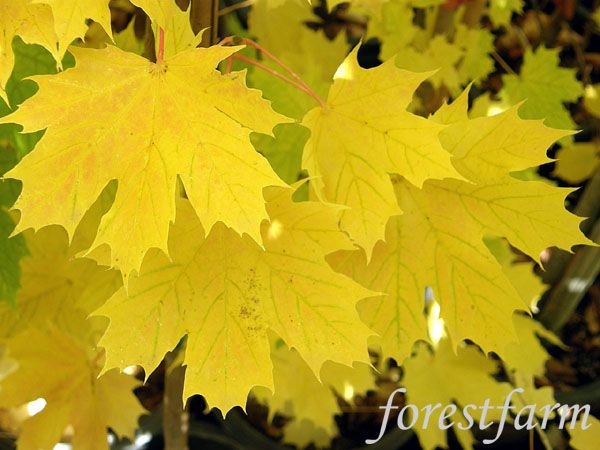 Maples further Tree Farm Gifts further Plants Splurge Spring together with Black Hills Spruce Tree as well Genome Ash Tree 04490. on princeton gold maple tree