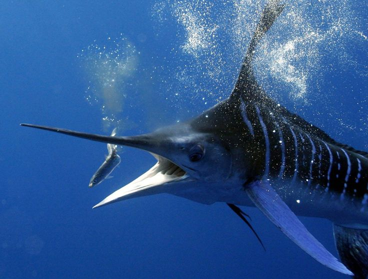 De blauwe marlijn,Makaira nigricans, is de snelste en sterkste vis in de oceaan en bepaald geen poesje om zonder handschoenen aan te pakken.Ze kunnen snelheden behalen van 90 km. per uur.Door zijn krachtige lichaam en omdat hij een keihard gevecht Lees meer...