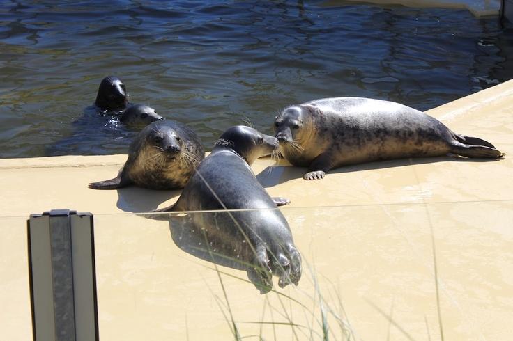 Wir senden Euch einen feuchten Schmatzer von den #Seehundrobben aus der #Seehundstation #Norddeich! #WattWiki