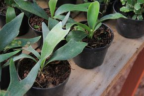 Como fazer mudas do Platycerium bifurcatum, ou chifre-de-veado | Jardim das Ideias STIHL - Dicas de jardinagem e paisagismo