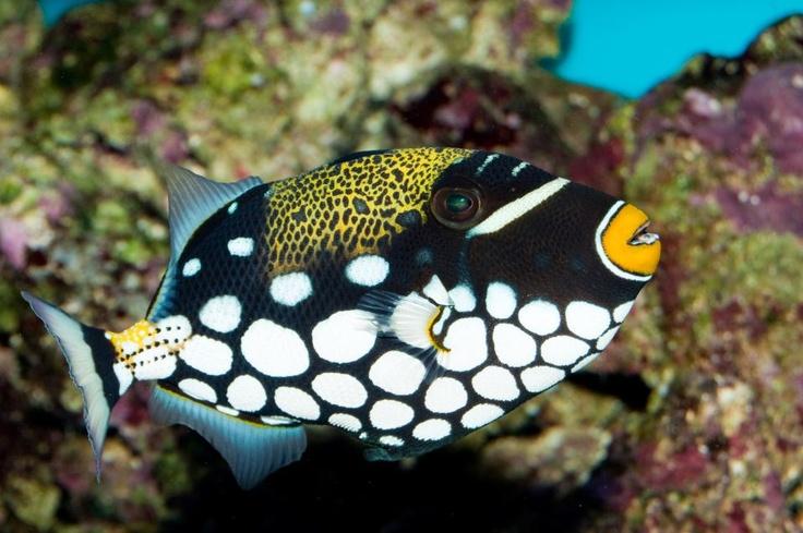 <3...trigger fish - so pretty!