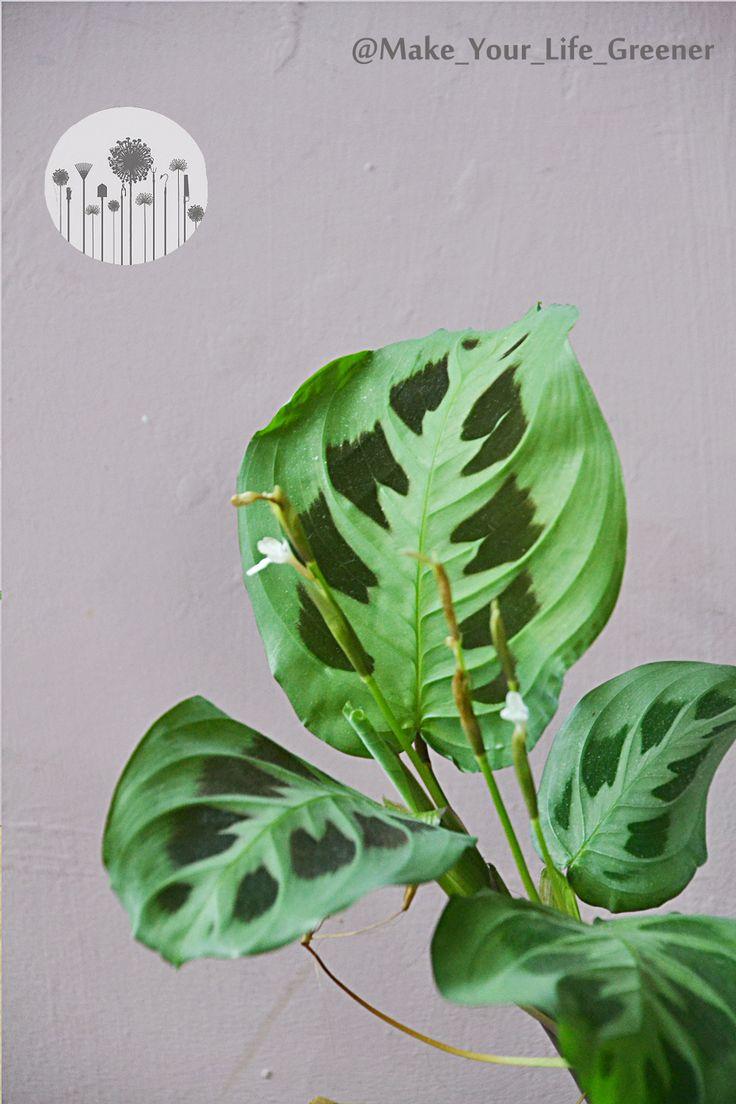 Jak Rozmnozyc Marante Sposoby Na Rozmnazanie Powielanie I Zageszczanie Maranty Plant Leaves Plants Green