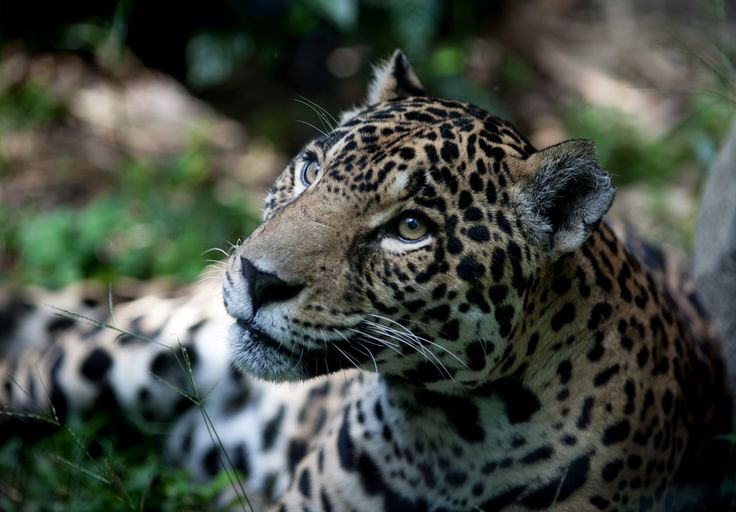 Hedonistic activities aside, scientists have begun using the technology for research.  A team of researchers from Queensland University of Technology and non-profit Lupunaluz Foundation hope to help save threatened jaguars in Peru.  A loss of habitat is causing the jaguar population to diminish, and the researchers want to find the and conserve the best jaguar habitat.  The team of self-described rookie researchers heade    Researchers ventured into the Amazon jungle to map out jaguar…