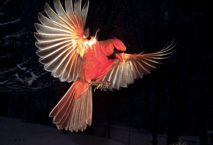 010 R.W. Scott Male Cardinal  Taking flight