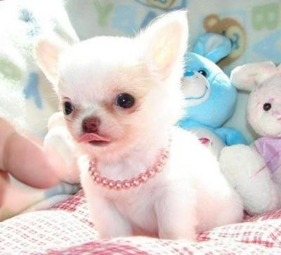 """""""I'm the cutest most adorablist lil chihuahua you've ever seen. It's the necklace isn't it?"""""""