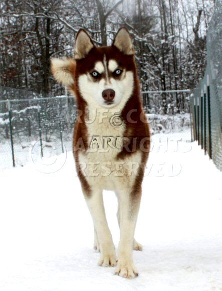 Red Siberian Husky With Blue Eyes Photo - Happy Dog Heaven