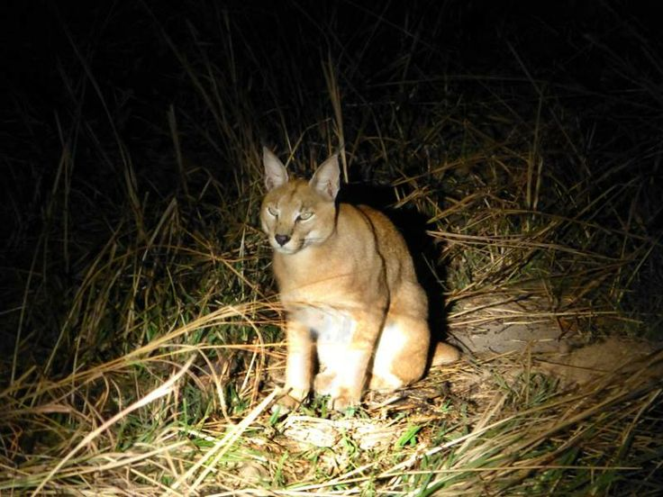 Caracal at Nsolo - thanks Brenda Davies for the photo