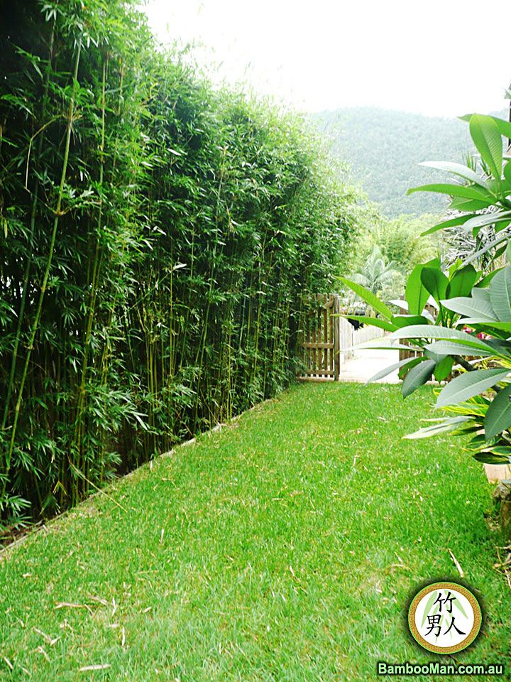 bamboo hedge. Mike thinks this would make a great sound barrier on the road side of our backyard.