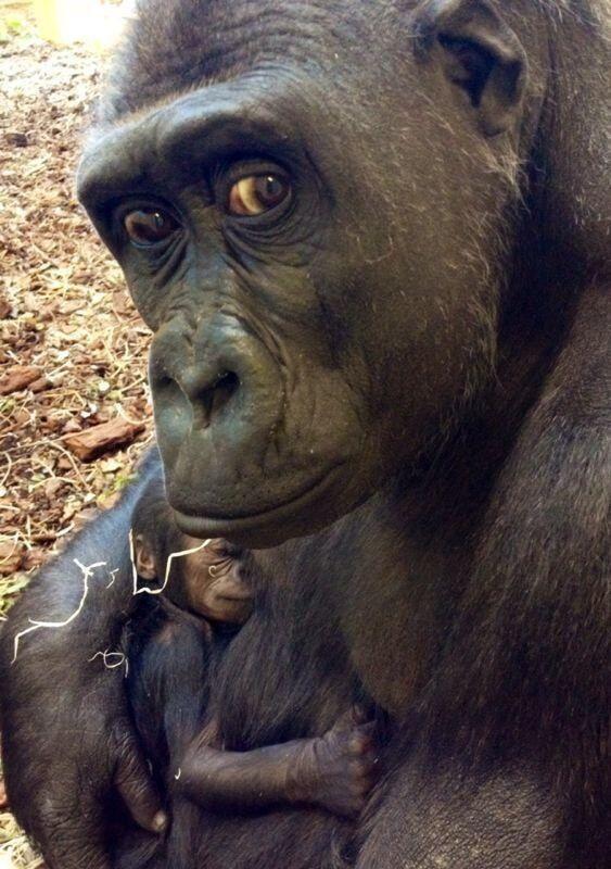 Mum is observing (Western Lowland Gorilla)