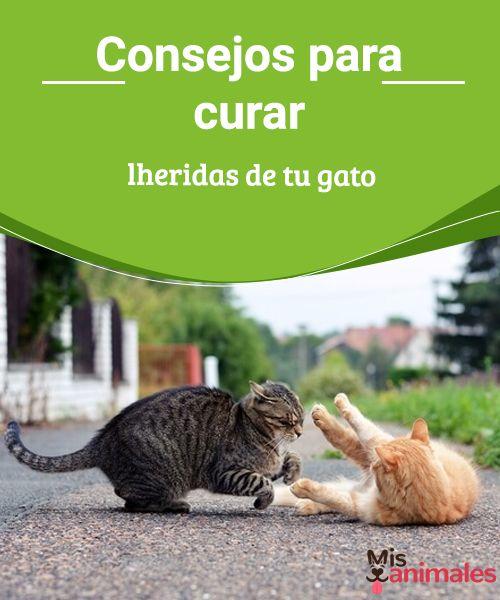 Consejos para curar heridas de tu gato  Pasos a seguir para curar heridas de tu gato. No está exento de lastimarse alguna vez, sobre todo si es de los que andan fuera de la casa buscando aventuras. #heridas #gato #heridas #consejos