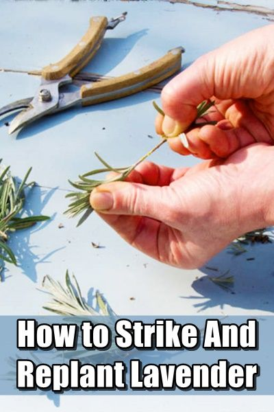 How to strike and replant lavender,homesteading,garden,gardening,natural,