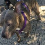 DIAMOND STAR – A1089786 FEMALE, GRAY / WHITE, AM PIT BULL TER MIX, 3 yrs OWNER SUR – AVAILABLE, NO HOLD Reason MOVE2PRIVA Intake condition UNSPECIFIE Intake Date 09/14/2016, From NY 11213, DueOut Date 09/14/2016,