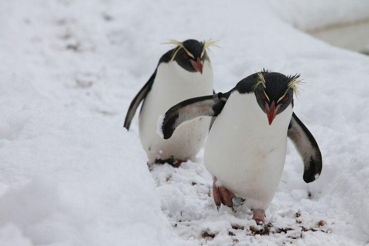 Злые пингвины
