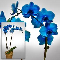 Edelorchidee, blau