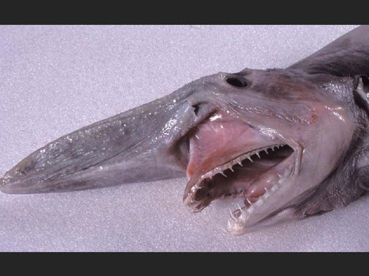 14. The Goblin Shark (le requin lutin)