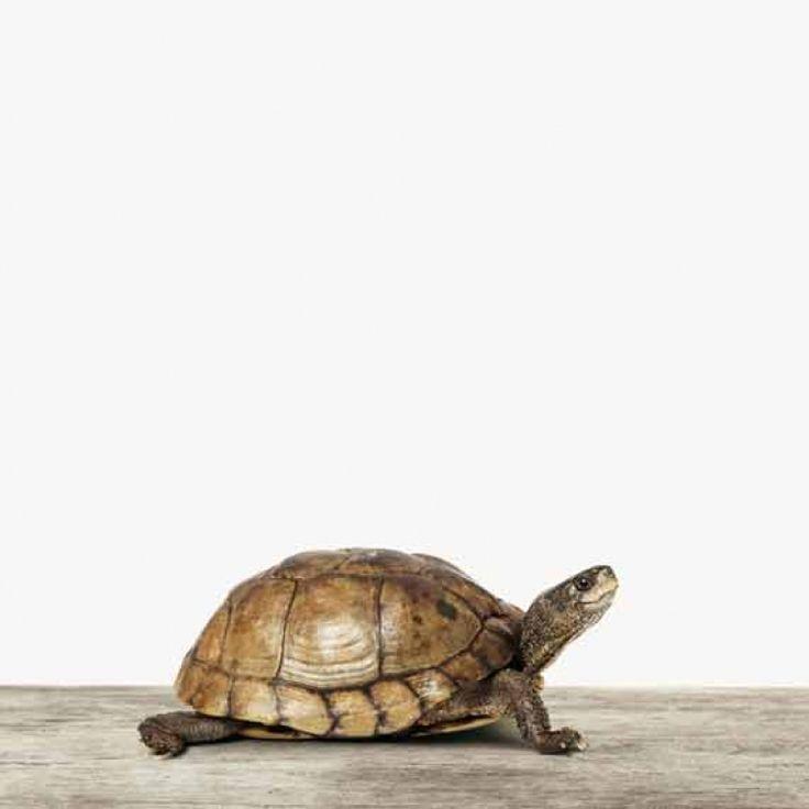 Deze kleine schildpad is helemaal hip en en doet het goed op elke muur of het nu uw kantoor, woonkamer, keuken of slaapkamer betreft. Laat 'm printen op hout, canvas, glas of als poster op vele verschillende formaten van klein tot groot!