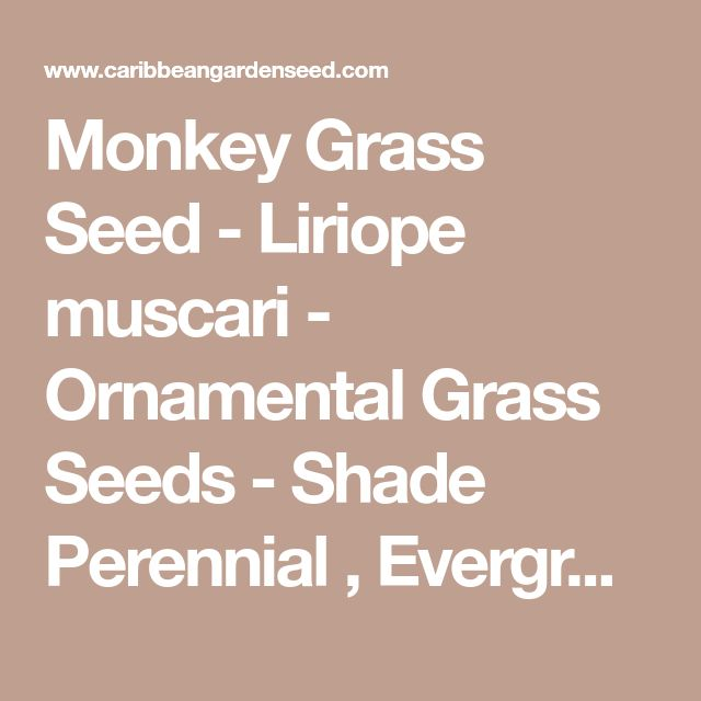 Monkey Grass Seed - Liriope muscari - Ornamental Grass Seeds - Shade Perennial , Evergreen foliage