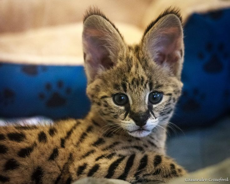 The Cincinnati Zoo's newest resident is a two month old male Serval kitten, named 'Zeke'! Learn more, see more: http://www.zooborns.com/zooborns/2015/03/serval-kitten-jumps-right-in-at-cincinnati-zoo-.html