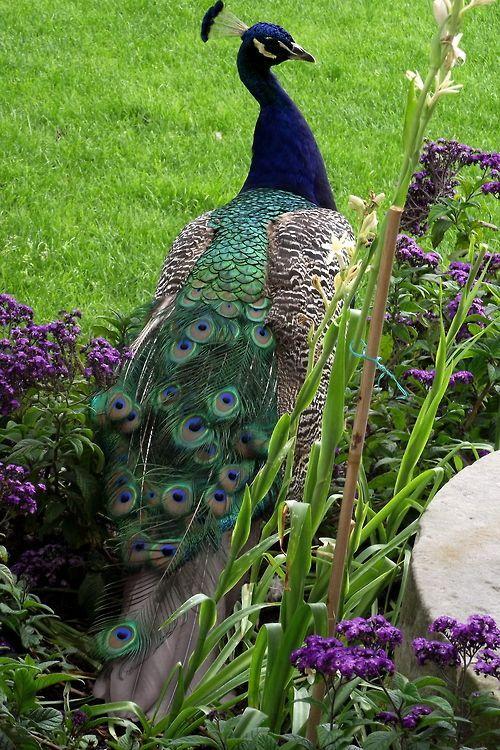 Amazing wildlife. Blue peacock photo