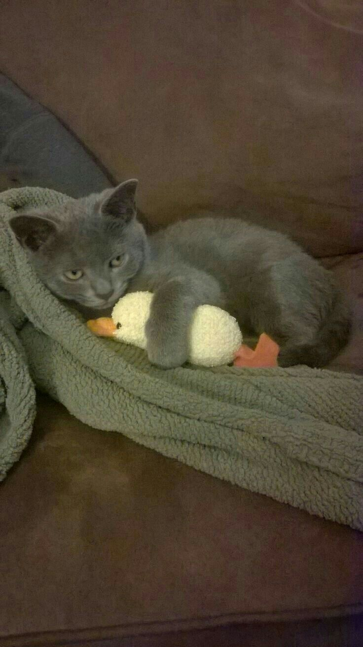252 best russian blues images on Pinterest
