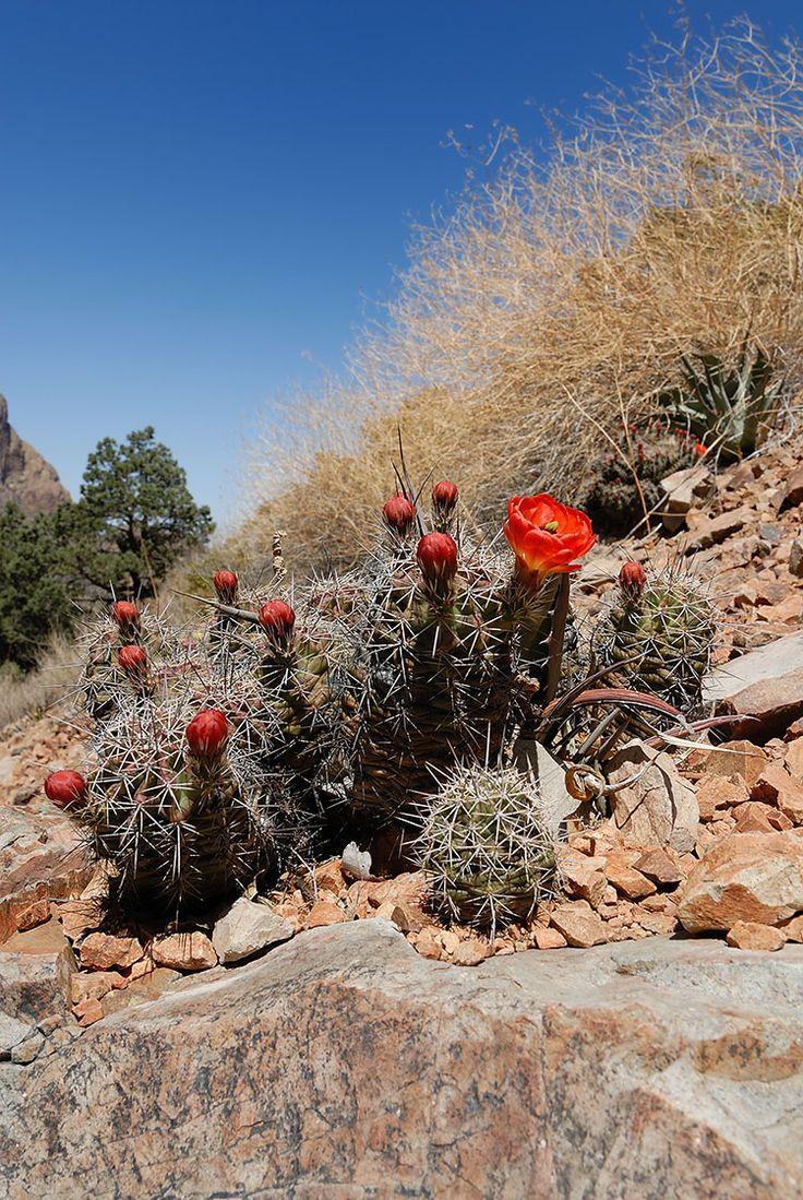 Echinocereus coccineus, USA, Texas, Brewster Co.  More Pictures at: http://www.echinocereus.de
