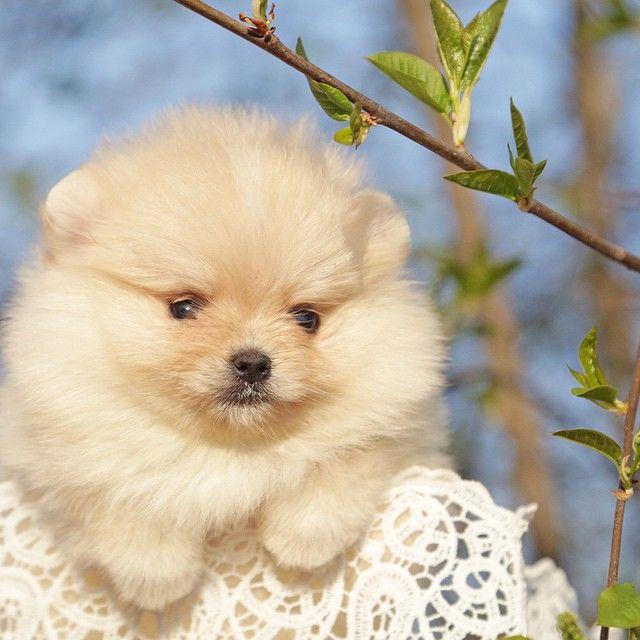 Щенок померанского шпица. Крошечная кремовая девочка. Подробнее о щенке узнавайте +7 926 164 9404, Viber /  What'sApp #pom #pomerania #puppy #puppyforsale #sale #avallable #pomeranian #dog #spitz #whitespitz #puppyofinstagram #пом #померанец #щенок #щенокпомеранскогошпица #померанскийшпиц #белыйшпиц #шпиц #бу #шпицмишка #минимишка #щенкивинстаграм #продажашпица #белыйпомеранец #собака #бу #шпицмини #питомник @artsimpatiya