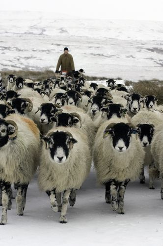 """Swaledale Sheep. These are the sheep I think of when someone says """"sheep"""" because they're all over the place in North Yorkshire."""