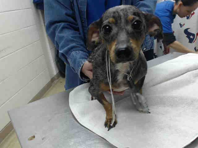 01/30/17-HOUSTON - SUPER URGENT -This DOG - ID#A476754 I am a female, blue merle and brown Dachshund. The shelter staff think I am about 2 years old. I have been at the shelter since Jan 30, 2017. This information was refreshed 37 minutes ago and may not represent all of the animals at the Harris County Public Health and Environmental Services.