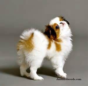 japanese chin. Cutest puppies