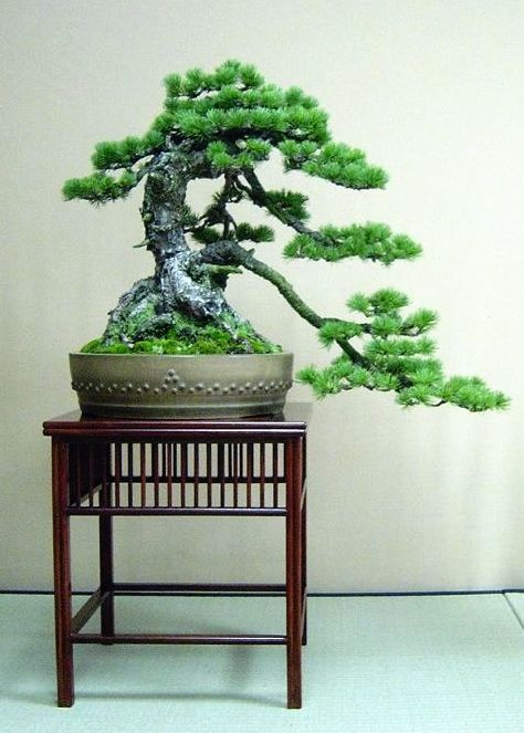 Beautiful Cascade Bonsai Tree :)