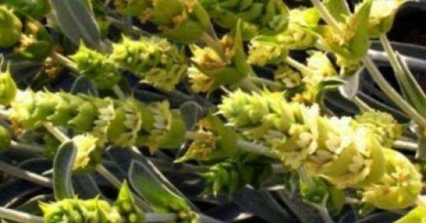 Αυτό είναι το ταπεινό ελληνικό βότανο που εξαφανίζει το Αλτσχάιμερ