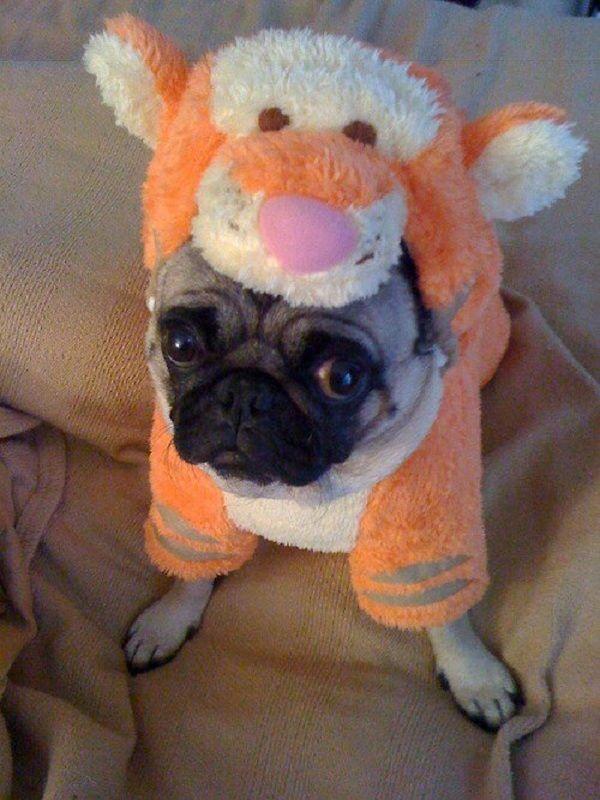Download Winnie Chubby Adorable Dog - f21331da971f779ee84988b881dd587c--funny-pugs-cute-pugs  Picture_405292  .jpg