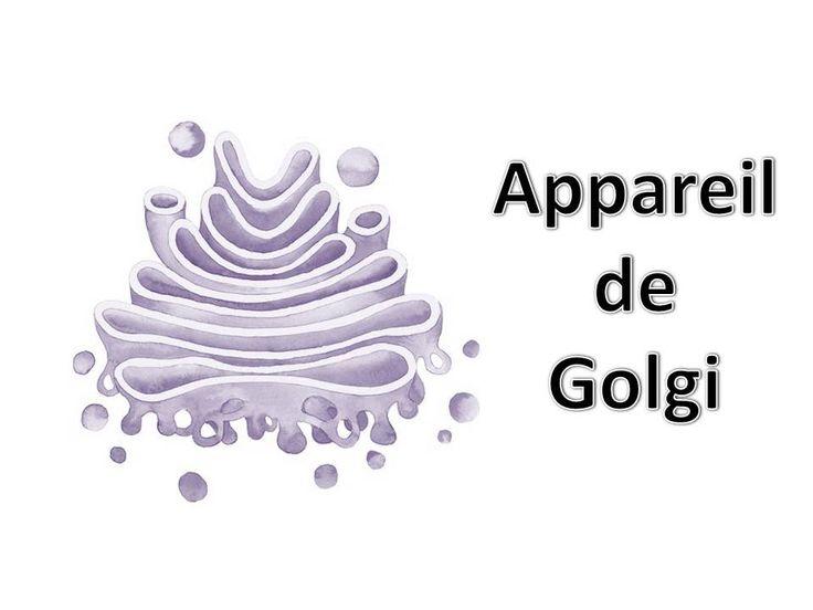 L'appareil de Golgi est un important organite cellulaire dans la cellule animale et végétale, cet organite cellulaire  joue un rôle grand dans la synthèse des protéines.