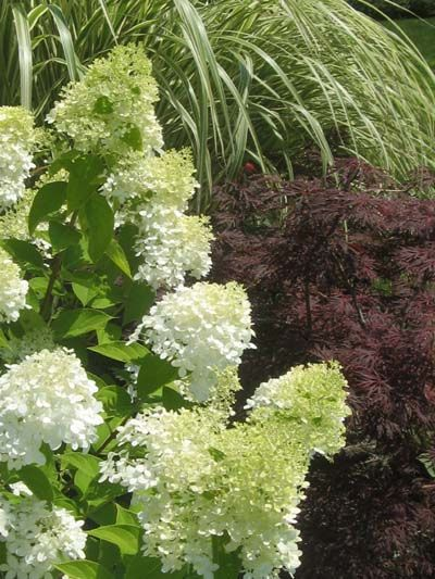 Limelight Pee Gee Hydrangea, Japanese Miniature Maple, (Cabaret) Variegated  Miscanthus ornamental grass.