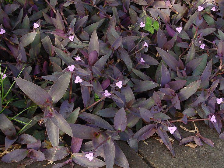 Mexikanische Dreimasterblume – Wikipedia