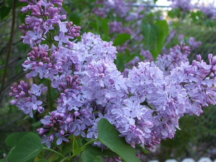 Lilac shrub.  Live in the country without a lilac?  In New England?!