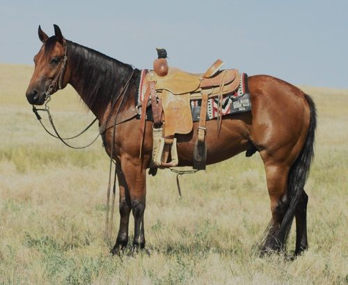 """CHILE"" Bay Gelding/Rope Horse for Sale - For more information click on the image or see ad # 44500 on www.RanchWorldAds.com"