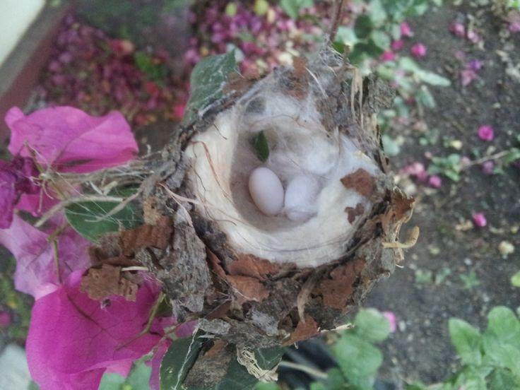 Hummingbird nest Hummingbird nests